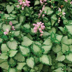 Lamium Maculatum Pink Chablis Has Flowers Above Silvery Gray