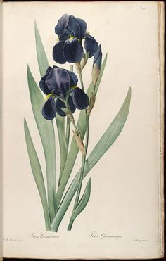 vol. 6 - Les liliacees, by Pierre Joseph Redoute, 1812 - Biodiversity Heritage Library
