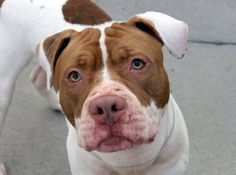 SAFE 01/24/15!  Was TO BE DESTROYED - 01/23/15 Brooklyn Center -P.My name is BRUNO. My Animal ID # is A1019370.I am a male white and chocolate staffordshire mix. The shelter thinks I am about 3 YEARS old.  For more information on adopting from the NYC AC&C, or to  find a rescue to assist, please read the following: http://urgentpetsondeathrow.org/must-read/