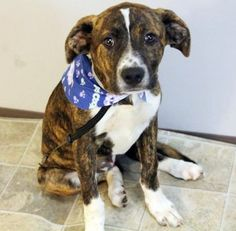 Hashbrown: 3-month-old pit bull mix is out of time at high-kill upstate shelter