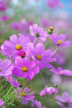 """""""I think it pisses God off when you walk by the color purple in a field and don't notice it!"""" /COSMOS one of my favorite flowers. Amazing Flowers, My Flower, Beautiful Flowers, Cosmos Flowers, Wild Flowers, Purple Flowers, Spring Flowers, Paper Flowers, Planting Flowers"""