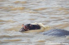 Hippo & Croc Boat Cruises on St. Lucia Estuary in South Africa Baby Hippo, Crocodiles, Kingfisher, Bird Species, Heron, Cruises, South Africa, Boat, Tours