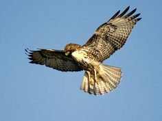 Raptor Pictures - Owl Wallpapers - National : Red-Tailed Hawk Get Wallpaper The most common hawk in North America, red-tails can often be seen atop utility poles and other lofty perches, on the lookout for potential prey. Raptors, Hawk Pictures, Animal Pictures, Mon Combat, Hawk Bird, Owl Wallpaper, Your Spirit Animal, Owls, Tatoo