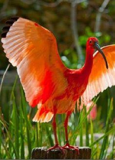 scarlet ibis (photo) found on fairy-wren.tumblr.com