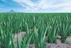 Aloe Vera : bienfaits, risques et effets secondaires