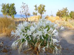 the white autumn lilies growing in sand crete