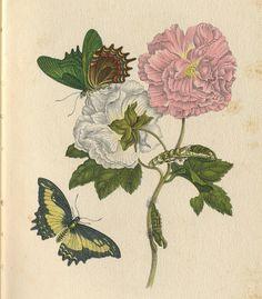 Illustration von Maria Sibylla Merian 1647-1717