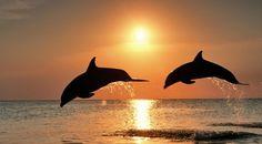 Bottlenose Dolphin, dolphins jumping at sunset, Caribbean, Honduras