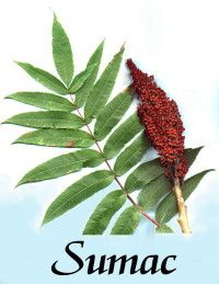 Sumac herbal use, edible and medicinal properties