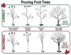 Pruning Fruit Trees   #gardening #trees