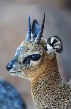 Africa | Klipspringer (Oreotragus oreotragus)