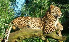 Luipaard @Safaripark Beekse Bergen