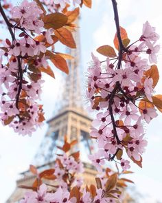 Cherry blossom in Paris, France. Most beautiful cherry blossom images from Instagram | Fab Fashion Fix. #nature #photography #travel #japan #cherry #spring #cherryblossom #springtime #fabfashionfix #france #paris #parisian #notredame