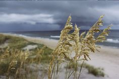 """Sea oats Uniola panicolata help anchor sand dunes and thus prevent erosion"" - Beach and Coastal Views posters and prints available at Barewalls.com"