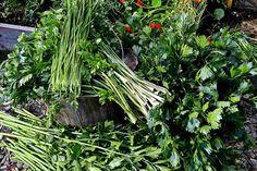 Gör grönsakspulver av resterna | Skillnadens Trädgård | Sara Bäckmo