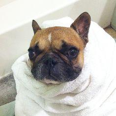 """""""Ugh, Bath Time again"""", Wet French Bulldog"""