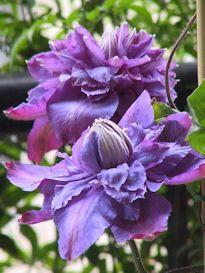 clematis bougainvillea geraniums sweet potato vine on. Black Bedroom Furniture Sets. Home Design Ideas
