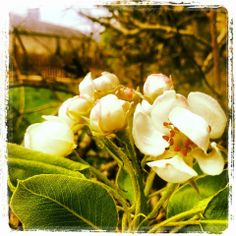 Longueville House Apple Blossom