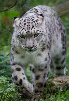 ☀Snow Leopard by JasonBrownPhotography*