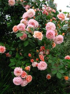 A Shropshire Lad, David Austin Roses planted it today!!!