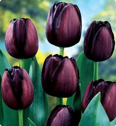 Gothic Midnight Garden Design - Black Flowers, Plants and Gargoyles Bulb Flowers, Tulips Flowers, Daffodils, Planting Flowers, Beautiful Flowers, Fall Planting, Black Tulips, Purple Tulips, Black Flowers