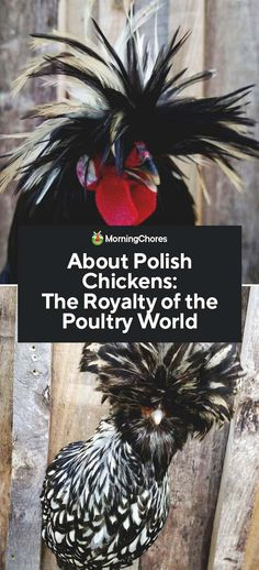 About Polish Chickens: The Royalty of the Poultry World Best DIY Incubators for 2020 Chicken Coop Blueprints, Chicken Coop Plans, Building A Chicken Coop, Chicken Coops, Mobile Chicken Coop, Portable Chicken Coop, Chicken Lady, Chicken Humor, Fancy Chickens