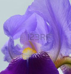 Blue Iris flower - Close-up photo