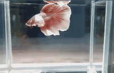 Halfmoon Betta, Betta Fish, Genetics Traits, Selective Breeding, Siamese Fighting Fish, Pet Store, Fishtail, Aquarium Fish, Braid