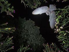 Photographer Roy Rimmer captures a Barn Owl descending on its prey.