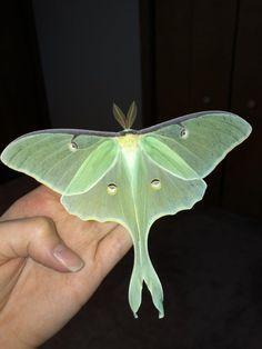 Beautiful Creatures, Animals Beautiful, Cute Animals, Beautiful Bugs, Beautiful Butterflies, Paper Butterflies, Lunar Moth Tattoo, Cute Moth, Moth Drawing