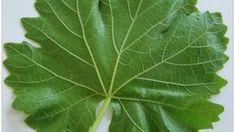 Asma yaprağı saklama yöntemleri