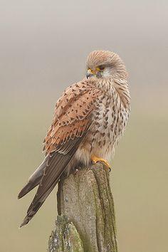 Common Kestrel (Falco tinnunculus)                                                   Beautiful
