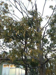 makotokasai @makotokasai  葉が無い枝が目立って来たのと、葉が黄色になってきている。初めて見る。
