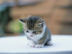 Petit chat trop mignon / Cute little cats Cute Fluffy Kittens, Kittens Cutest Baby, Cute Cats And Kittens, Baby Cats, Baby Kitty, Kitty Kitty, Baby Animals Pictures, Animals And Pets, Funny Animals