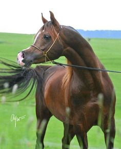 Is it my imagination-or are Arabian Horses face, muzzle and brow changing? Becoming more narrow and curved ?