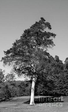 Stately cedar tree