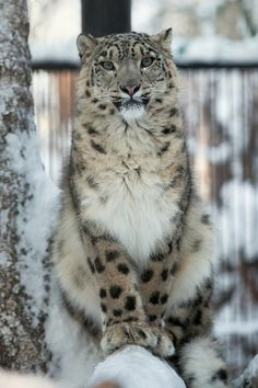 gorgeous photo of this snow leopard