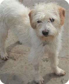North Kingstown, CT - Cairn Terrier/Poodle (Miniature) Mix. Meet Rudy T a Dog for Adoption.