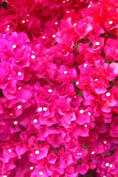 bouganvillea flowers