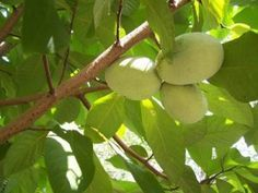 PawPaw fruit trees - they are native to america and grow fruit that tase tropical.  This tree grows wild in the appalachian mountains and people today still love this old time favorite.