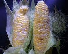 7 Easy Tips for Growing Better Corn - Gardening Jones