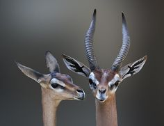"""The gerenuk, Litocranius walleri, is a long-necked species of antelope found in dry thorn bush scrub and desert in East Africa. The word gerenuk means """"giraffe-necked""""."""