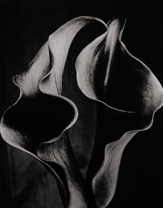 """""""Double Arum Lily 2"""" 