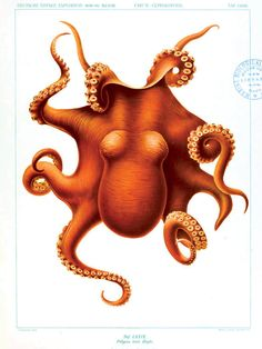 Octopus by curiousprints:  Vintage science poster. ##Illustration #Octopus #Vintage