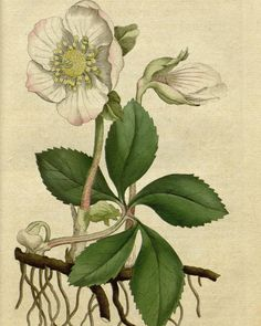 #BHLSundayGarden: Black Hellebore (Helleborus niger) is a poisonous flower that gets its common name from the color of its roots. #SciArt from Volumes 1-2 of William Curtis's Botanical Magazine (1787-1790) which were contributed for digitization by the Peter H. Raven Library at Missouri Botanical Garden (@mobotgarden) to #BiodiversityHeritageLibrary. http://www.biodiversitylibrary.org/page/468717  #BlackHellebore #Hellebore #floriculture #flowers #flowersofinstagram #Botany #BotanicalArt…