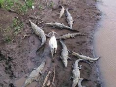 #goatvet says she is not sure the goat is happy but it was safe after getting through the crocodiles