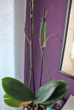 Wenn die Orchidee nicht mehr blüht, liegt meist ein Fehler in der Pflege vor. Je nachdem, wie lange die Orchidee nicht mehr blüht, kann es sich auch um einen normalen Vorgang handeln. Wir zeigen Ihnen in diesem Zuhause-Tipp, welche Gründe vorliegen könnten.