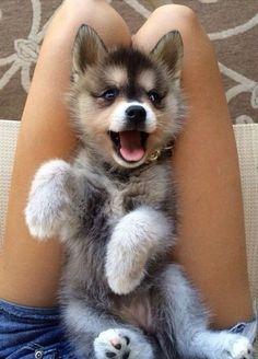 Cute pomsky puppy.