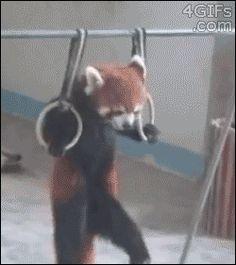 Como os pandas vermelhos se mantem fofos e em forma!