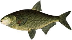 Natural History Fish Image